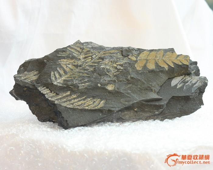 奇石/化石:美国  羊齿蕨 化石 #1  (已鉴定)