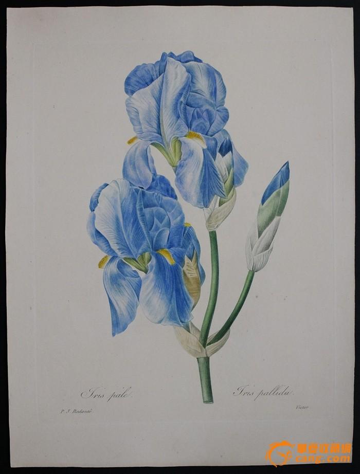 1833年艺术巨匠雷杜德花卉圣经铜版画IRIS