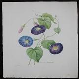 1833年艺术巨匠雷杜德花卉圣经铜版画牵牛花